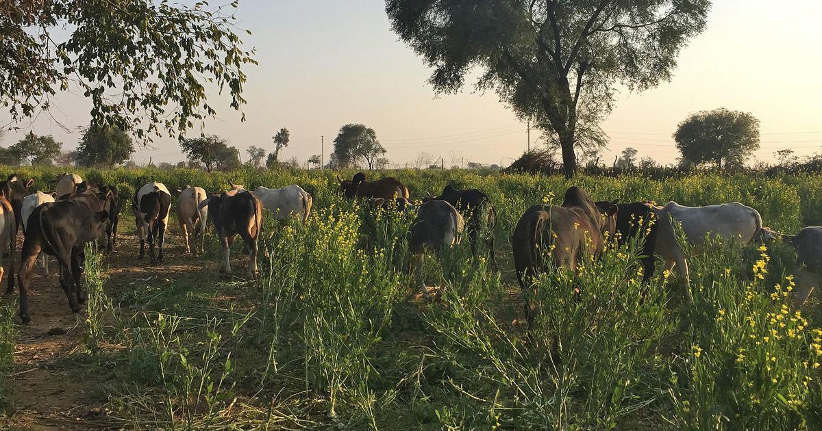 उत्तर प्रदेश में किसानों की मुसीबत बने छुट्टा पशु चुनावी मुद्दा क्यों नहीं बन पाए हैं?