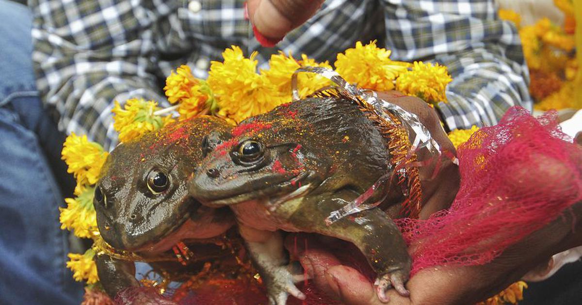 मध्य प्रदेश : पहले मेंढक-मेंढकी की शादी करा बारिश की मन्नत मांगी, अब परेशान हो तलाक कराया