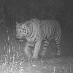 गुजरात में 25 साल बाद बाघ दिखने की पुष्टि हुई