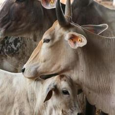 Aligarh: Policemen will 'adopt' cows to tackle menace of stray cattle, says report